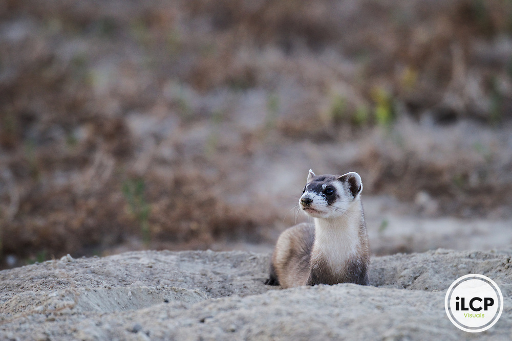 Black-footed ferret release at Rocky Mountain Arsenal NWR, CO