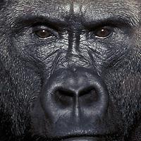 Lowland Gorilla<br />