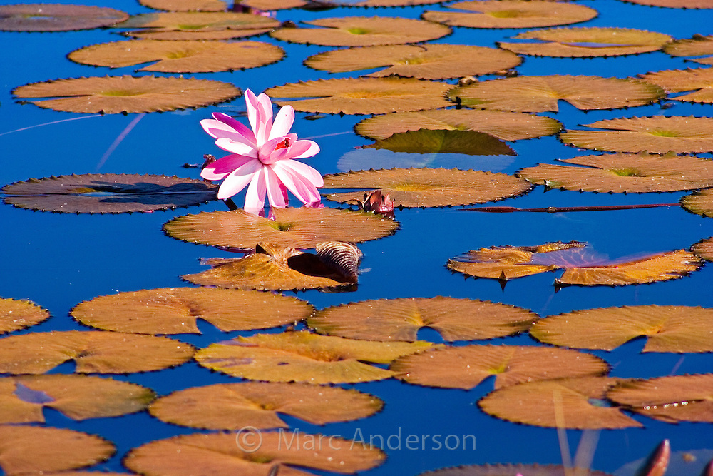 Floating water lilies on a lily pond in Vanua Levu, Fiji.