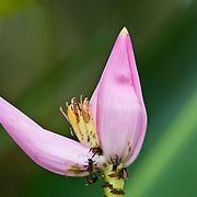 Banana bloom, Musa acuminata, with bees on it, Osa Peninsula, southern Costa rica.