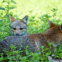 A pair of wild golden, or Asian, jackal, C. aureus in Huai Kha Khaeng Wildlife Sanctuary in Thailand.