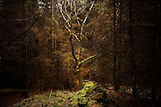 An isolated deciduous tree stands alone in a clearing in a dark, moody, spooky pine forest in the deserted valley of Nant Gwrtheyrn, Llyn Peninsula, North Wales