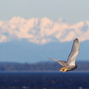 A snowy owl (Nyctea scandiaca) flies toward the Olympic Mountains from Damon Point in Ocean Shores, Washington. Snowy owls, which spend the summer in the northern circumpolar region north of 60 degrees latitude, have a typical winter range that includes Alaska, Canada and northern Eurasia. Every several years, for reasons still unexplained, the snowy owls migrate much farther south in an event known as an irruption. During one irruption, a snowy owl was found as far south as the Caribbean. During the 2011-2012 irruption, Ocean Shores on the Washington coast was the winter home for an especially large number of snowy owls. Snowy owls tend to prefer coastal and plains areas, which most resemble the open tundra that serves as their typical home.