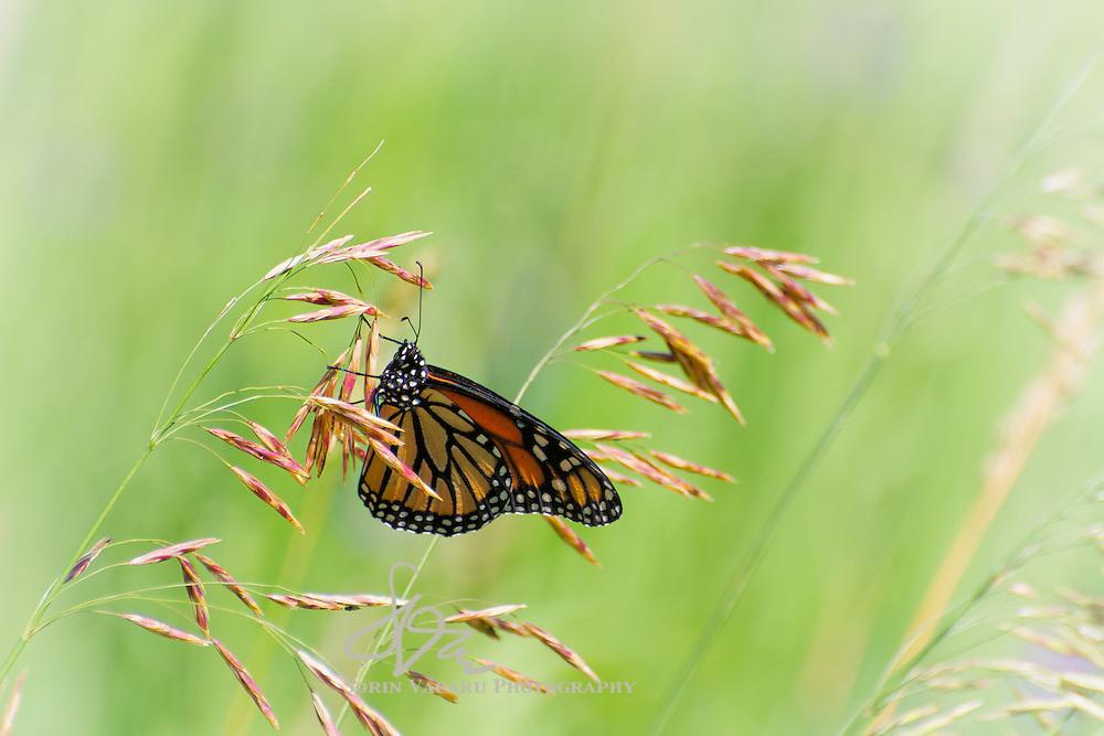 Monarch Butterfly in Mono Cliffs Provincial Park