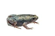 Eastern Narrow-mouthed Toad (Gastrophryne carolinensis)<br /> ALABAMA: Tuscaloosa Co.<br /> Tulip Tree Springs off Echola Rd.; Elrod<br /> 3-May-2016<br /> J.C. Abbott #2807 &amp; K.K. Abbott