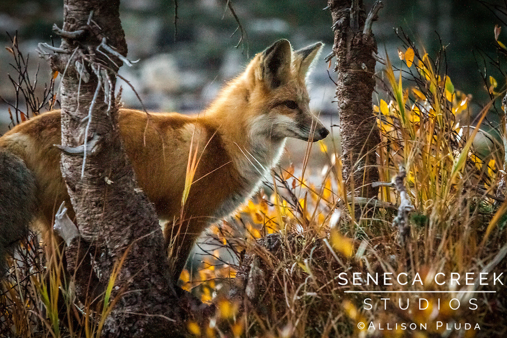 &quot;We are never alone when we are with Mother Nature.&quot;<br /> - Anthony Douglas Williams - Inside the Divine Pattern<br /> <br /> I was out shooting the sunrise on the Snowys in Medicine Bow National Forest in Wyoming when this curious glittle fox followed me around all morning. I had the pleasure of watching him catch his own breakfast a few feet from me, and we both ate our meals together that morning!