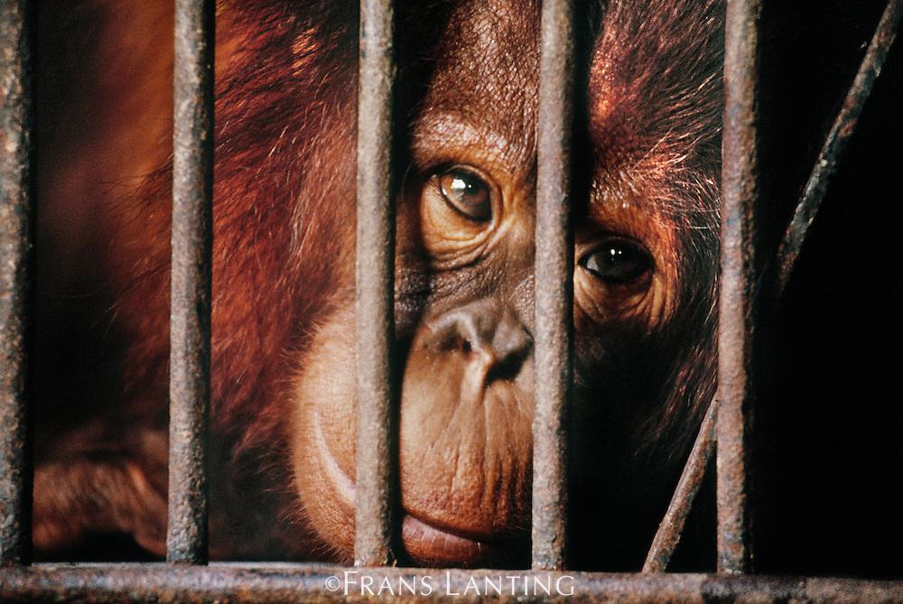 Bornean orangutan in cage, Pongo pygmaeus, Borneo