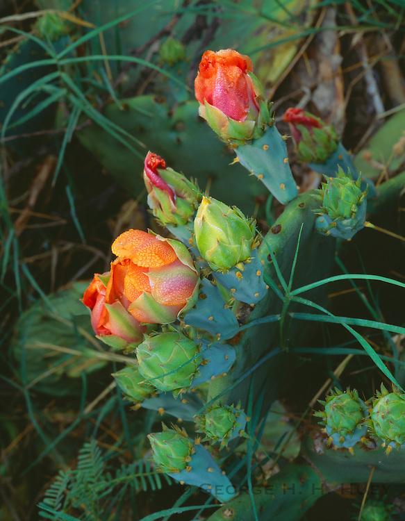 0501-1009 ~ Copyright: George H. H. Huey ~ Texas prickly pear cactus buds [Opuntia engelmannii var. texana] [syn. Opunia lindheimeri], growing near the Rio Grande. Big Bend National Park, Texas.