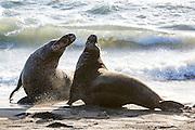 Elephant seals on the beach at the Piedras Blancas Marine Reserve rookery, on Highway 1, near San Simeon, CA,  Feb. 2, 2016. (AJ Mast )