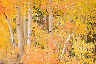 Aspen Trees near North Lake, Eastern Sierra, California