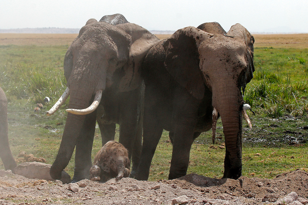 Africa, Kenya, Amboseli. Elephant family at Amboseli, with newborn.