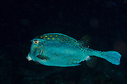 Honeycomb Cowfish (Acanthostracion polygonia)<br /> BONAIRE, Netherlands Antilles, Caribbean<br /> HABITAT &amp; DISTRIBUTION: Above reefs. <br /> Florida, Bahamas, Caribbean,  Bermuda north to New Jersey &amp;  south to Brazil.