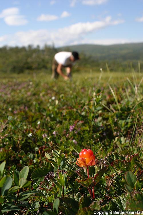 Rubus chamaemorus, cloudberries. Multer.