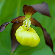 Cypripedium calceolus - Marisko - Lady's slipper