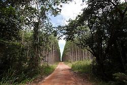 Small strip of bushland squeezed by  eucalyptus plantation near Mucuri town, Bahia State - Brazil.<br /> <br /> Pequena faixa de mata nativa espremida pela planta&ccedil;&atilde;o de eucaliptos pr&oacute;ximo a Mucuri, Bahia - Brasil.