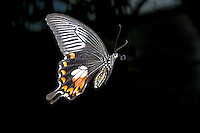 Papilio polytes in Flight Image by Andres Morya