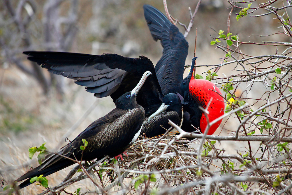 South America, Ecuador, Galapagos Islands. Magificent Frigate Bird in courtship display for two females.
