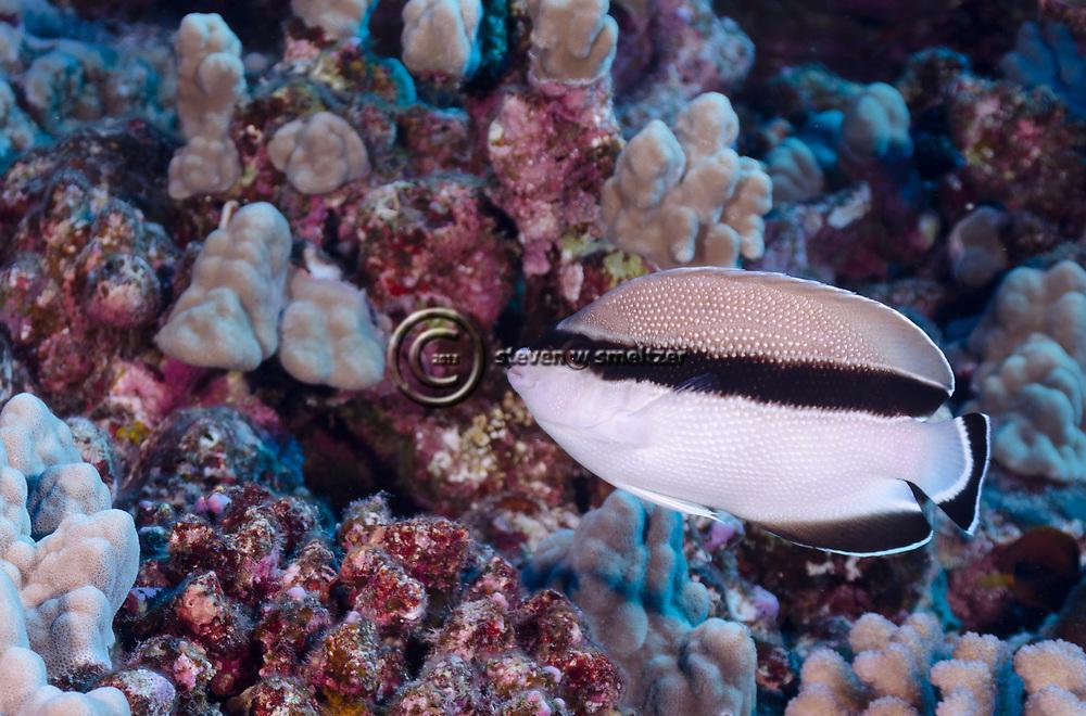 Bandit Angelfish, Apolemichthys arcuatus, Molokai Hawaii