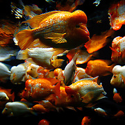 SHOT 9/7/2007 - Midas Cichlids swim in a tank at the Shedd Aquarium in Chicago, Ill. Midas cichlids are found in lakes and rivers of Central America. Cichlids are small, spiny-finned fish that live in tropical fresh water worldwide. Estimates of the number of cichlid species range from 1,300 to 1,900, making it one of the three largest vertebrate families. Cichlids are particularly well known for having evolved rapidly into a large number of closely related but morphologically diverse species within large lakes, particularly the African Rift Valley lakes of Tanganyika, and Victoria, and Malawi. The diversity of cichlids in the African Great Lakes is important for the study of speciation in evolution. Many cichlids that have been accidentally or deliberately released into freshwaters outside of their natural range have become nuisance species, for example tilapia in the southern United States. Chicago is the largest city in the state of Illinois, the largest in the Midwest and, with a population of nearly 3 million people, is the third largest in the United States. Chicago is a city rich in history and also renowned for its architecture. Chicago attracts about 33 million visitors annually from around the world and nation. .(Photo by Marc Piscotty © 2007)
