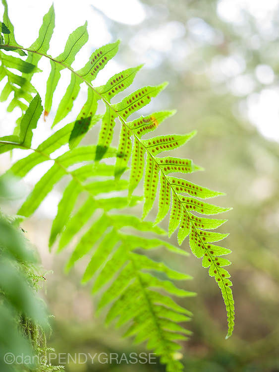 A fern in Pacific Spirit park, Vancouver, BC, Canada.