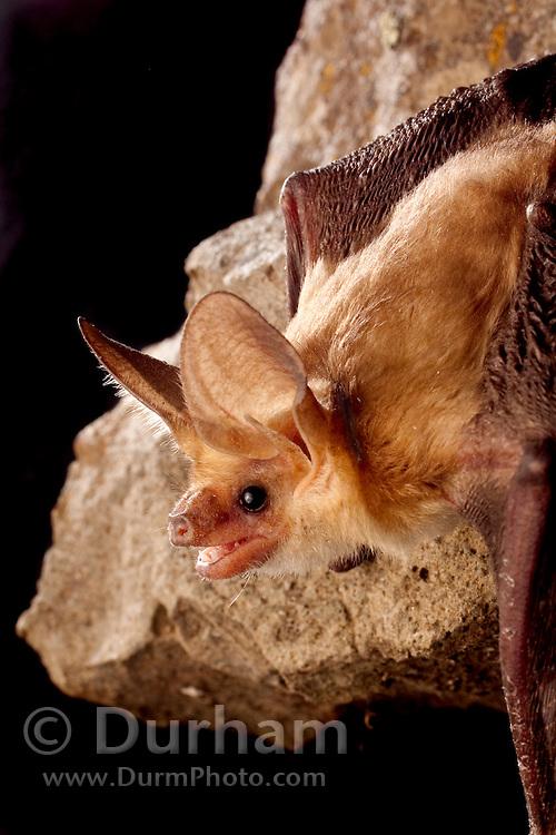 A pallid bat (Antrozous pallidus) perching on rimrock at night near Sulphur Springs, high-desert habitat, Washington.
