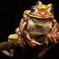 Mating Milk Frogs, Phrynohyas venulosa, in the Osa Peninsula.