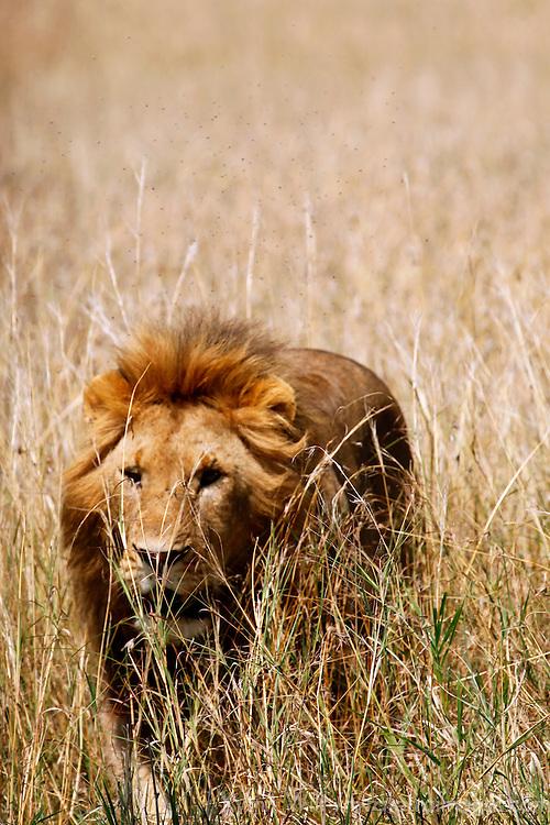 Africa, Kenya, Maasai Mara. Lion in the Mara.