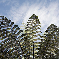 New Zealand, North Island, Pahia, Morning sun lights Silver Tree Ferns in Opua Forest along Bay of Islands