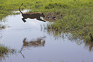 African lion (Panthera leo) leaping over water, Duba Plains, Botswana