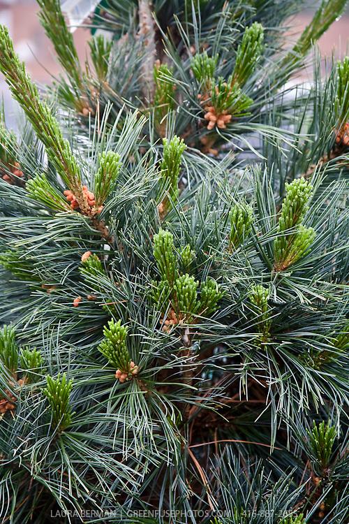 Vanderwolf's Pyramid Limber Pine (Pinus flexilis 'Vanderwolf's Pyramid')
