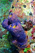 Blue Tube Sponge Grand Cayman