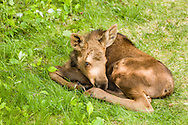 A newborn calf moose (Alces alces) finds rest and refuge from predators in a yard in Eagle River in Southcentral Alaska. Spring. Afternoon.