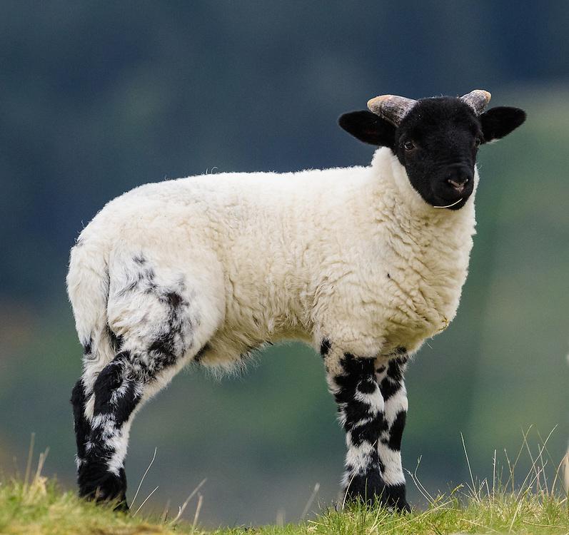 Lamb, Mull, Scotland