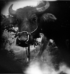 Outdated film picture of a buffalo, Ha Giang Province, Vietnam, Southeast Asia