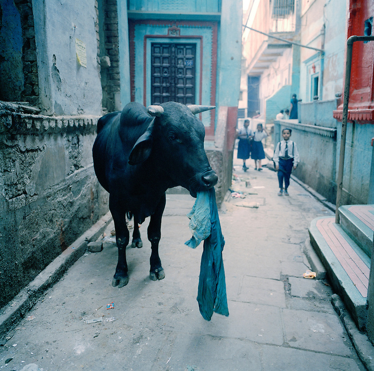 Cow eating a piece of cloth in an alley in Varanasi, India...Photo by Knut Egil Wang /MOMENT