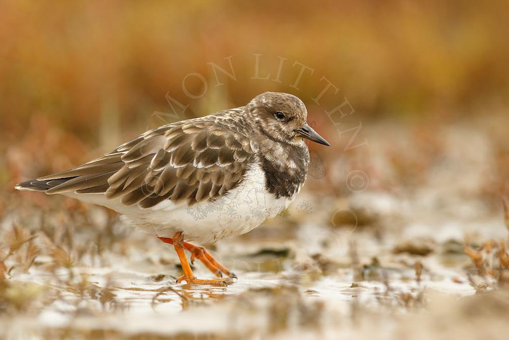 Ruddy Turnstone (Arenaria interpres) adult, non-breeding plumage, walking on salt marsh, Norfolk, England