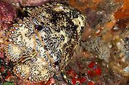 Brown Slipper Lobster, Sculptured Mitten Lobster, Parribacus antarcticus, (Lund, 1793), Maui Hawaii