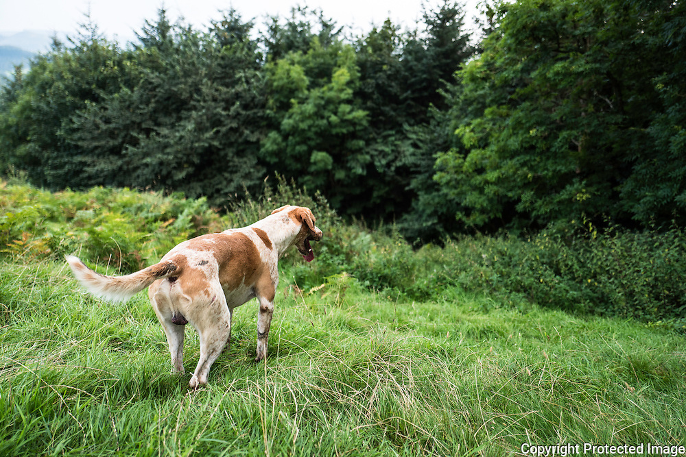 A foxhound of the Jedforest Hunt out Autumn hunting on a hillside near Camptown in the Scottish Borders.