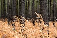 Broom Sedge( Andropogon virginicus ) and Loblolly Pine ( Pinus taeda ) Plantation, wet from rain, South Carolina Low Country, USA