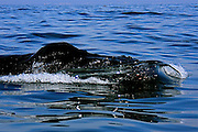 Every winter Humpback whales migrate to the Bay of Banderas Mexico to give birth to their calves and gain extra blubber and strength, before migrating north to feeding grounds.