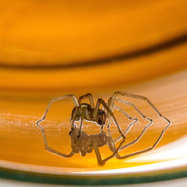 Longlegged Sac Spider- male (Cheiracanthium mildei)