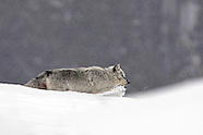 "Tours: Yellowstone in Winter ""The Wolves of Yellowstone"""