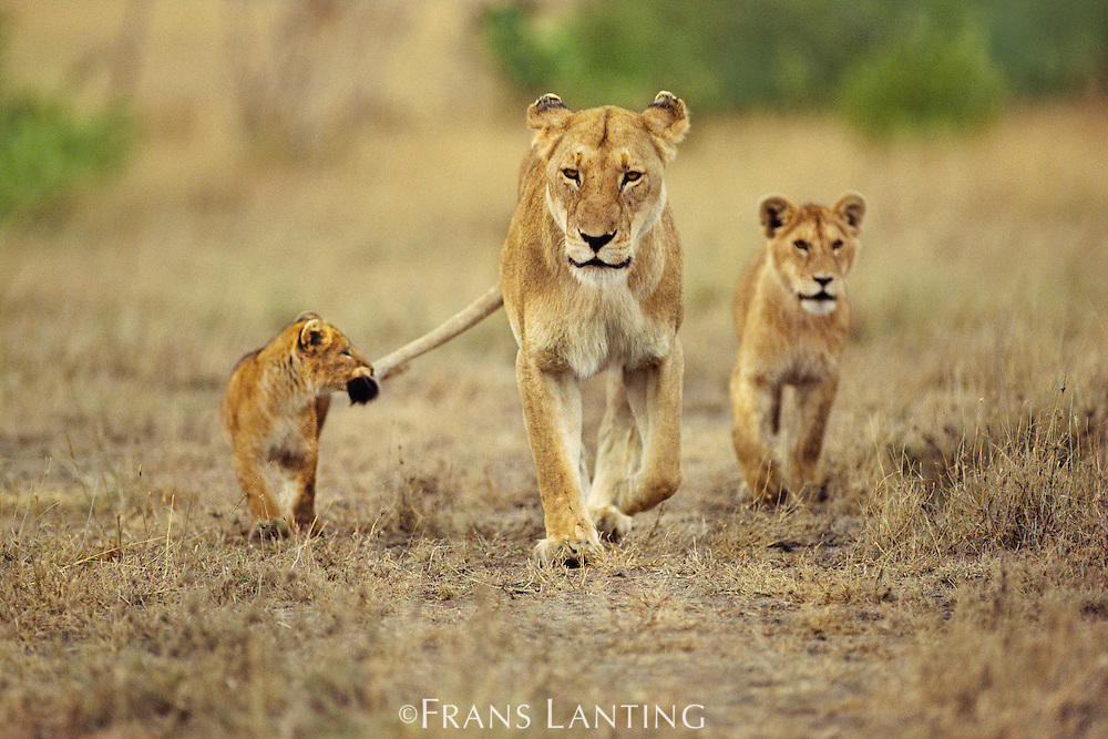 Cub holding onto lioness tail, Panthera leo, Masai Mara Reserve, Kenya