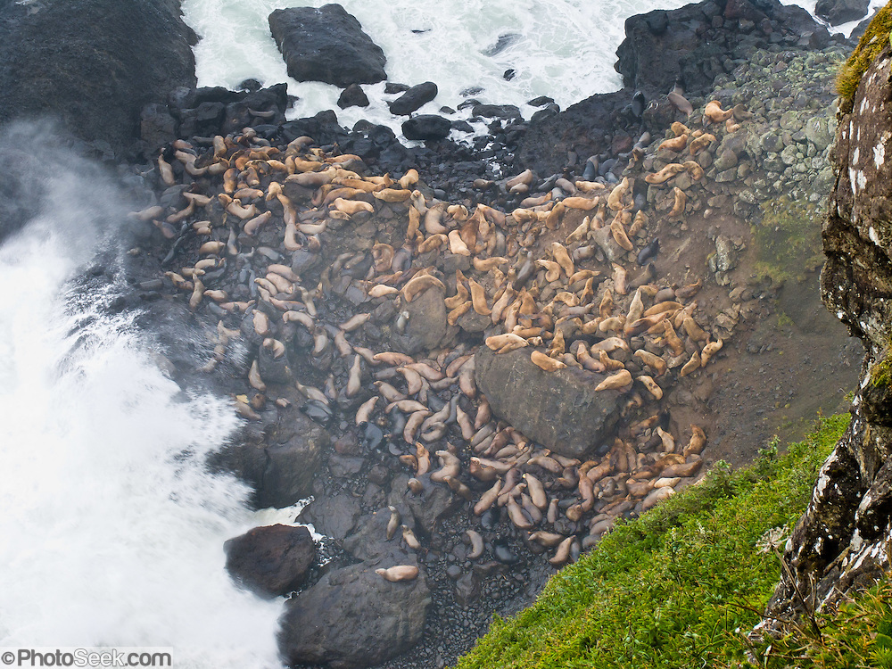 Wild stellar sea lions rest above surf line at Heceta Head, Florence, Oregon, USA.