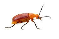 Blister Beetle (Zonitis sp.)<br /> TEXAS: Edwards County<br /> off C.R. 24; Camp Wood, 6 km NW<br /> 29-May-2012<br /> J.C. Abbott &amp; K.K. Abbott