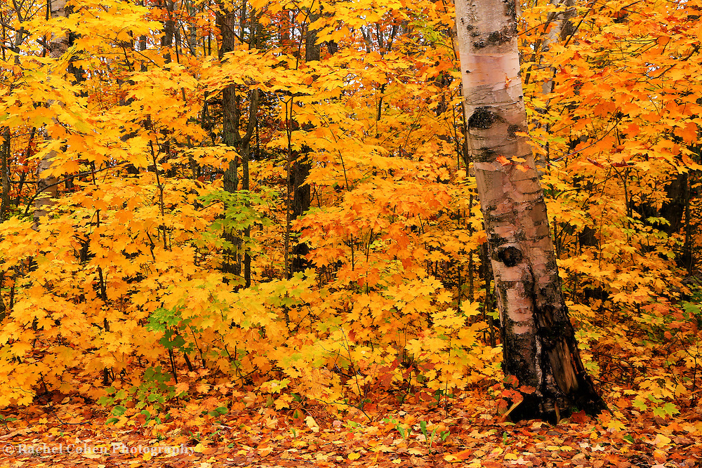 &quot;Birch Bark and Autumn&quot; 2<br /> <br /> A lovely old Birch tree stands prominent against a backdrop of yellow and gold Maples!!<br /> <br /> Fall Foliage by Rachel Cohen