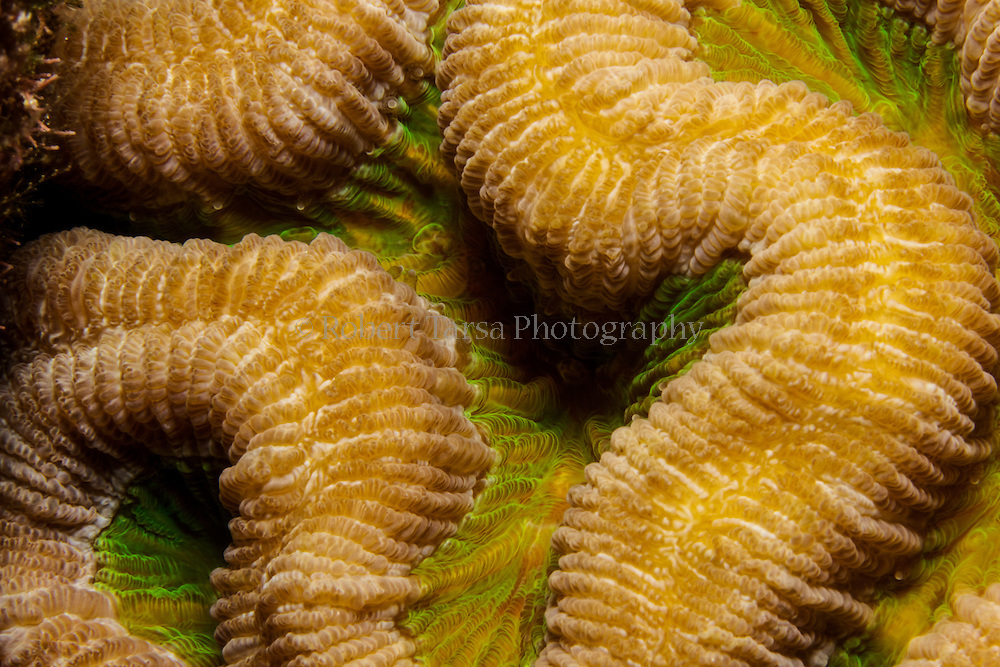 Macro photograph of Brain Coral