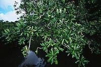 A Barringtonia tree growing along a tidal channel.  Republic of Palau.  Dec 01.