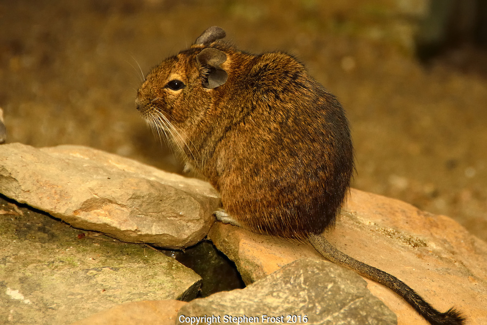 This is a Degu. It is a native of Chile. Untamed degus, as with most small animals, can be prone to biting, but their intelligence makes them easy to tame.