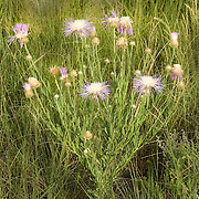 American Basketflower.Centaurea americana.south of Alpine, Texas, United States.10 August      Flower       Asteraceae